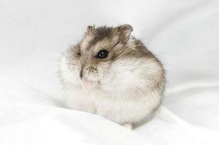 仓鼠的寿命