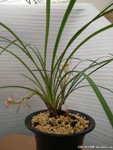 上两盆金沙树菊