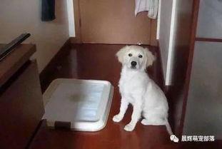 金毛幼犬怎么训练上厕所(一个月金毛幼犬怎么训练上厕所)