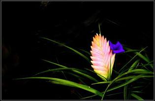 铁兰花为什么变绿了
