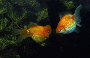 養什么金魚最好風水學