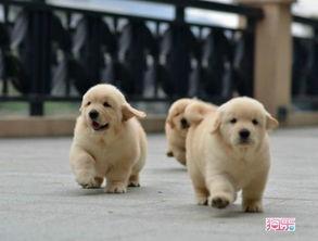 金毛犬怎么看纯不纯种图片集小金毛犬是什么样子