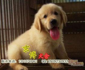 纯种金毛幼犬多少钱 北京金毛幼犬价格