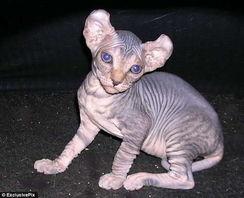 无毛 精灵猫 身价2000美元 酷似科幻精灵