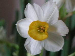 关于赞美水仙花的诗句