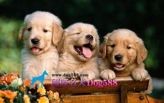 胜龙名犬为您提供最好的服务 Dog588