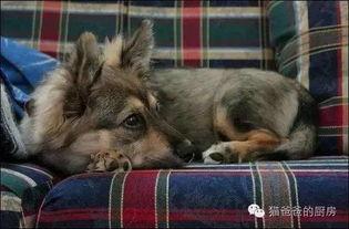 当柯基与其他狗狗杂交后 这悲剧的小短腿
