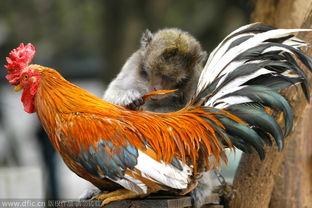 跨种族友情 母猴帮公鸡抓跳蚤不亦乐乎