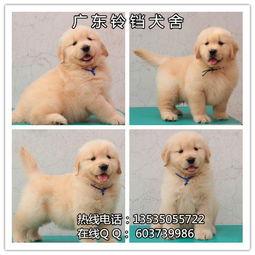 广州金毛犬价格 金毛犬多少钱 金毛犬图片