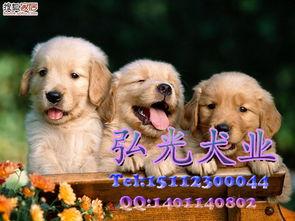 广州哪里有出售宠物狗 哪里有卖金毛 纯 家有宠物论坛