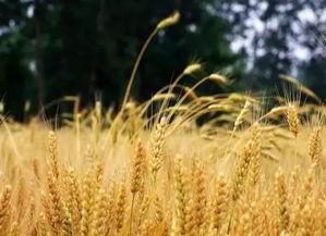 关于麦子与鸟的诗句