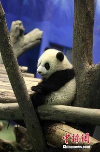 赠台大熊猫宝宝 圆仔 抢先曝光
