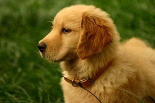 我买了一只金毛犬 想帮他取个好听的名字.请个位姐姐哥哥帮忙想一想