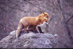 fq123摄影作品 动物组图 2 狐狸的故事