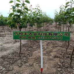 【玉露香梨,哪里有最好的梨树苗专业育苗基地】-黄页88网