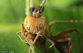 蚂蚁懂 以毒攻毒 引入寄生真菌消灭僵尸真菌