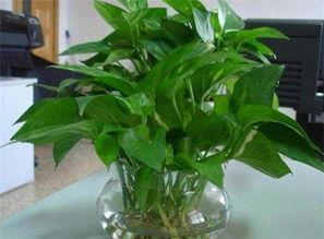 绿萝水培养花为什么会烂叶子