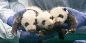 广州全球唯一存活大熊猫三胞胎满月