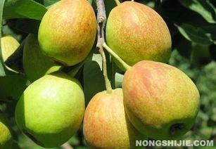 百果园创始人对话台湾水果之父 如何重振中国香梨