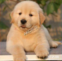 精品金毛幼犬 重庆金毛价格 重庆纯种金毛幼犬多少钱