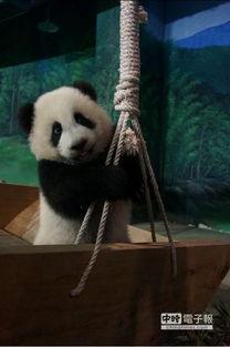 大熊猫 圆仔 预计明年与台民众见面