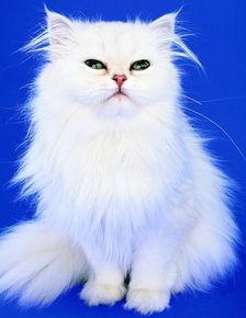 给波斯猫起个英文名字