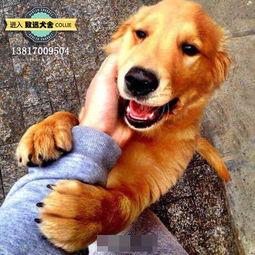 上海致远犬舍 静安区纯种金毛犬幼犬的基本调教与训练