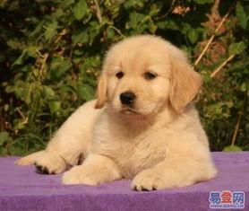 【出售金毛幼犬 宽嘴大头黄金猎犬金毛犬的图片】-相成 阳澄湖易登网