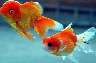 小金鱼多久喂一次(金鱼几天喂一次?)