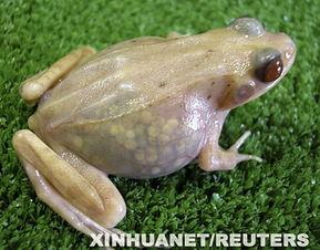 罕见透明青蛙