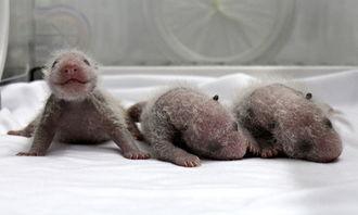 卧龙大熊猫菊笑产下三胞胎