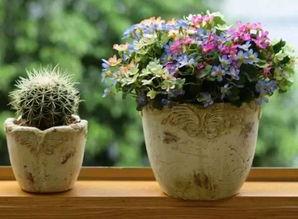黑豆煮熟能放花盆养花吗