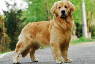 自家繁殖的金毛犬找新家 一分价钱一分 公母均有