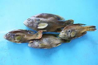 安徽六安神秘外来鱼入侵吃光同水域其他鱼