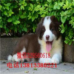 南宁出售纯种边牧幼犬 边境牧羊犬多少钱一只 黑白色边牧