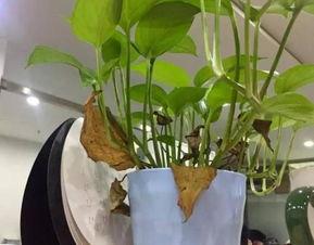 家里養花草生小飛蟲怎么辦