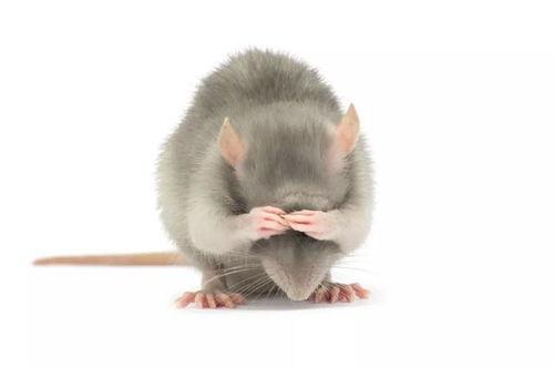 有关老鼠血的相关知识
