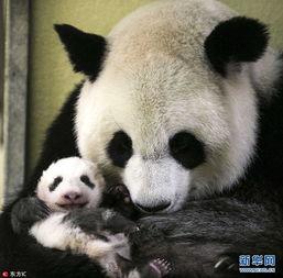 旅法熊猫 迷你圆仔 满三个月啦 对镜头微笑萌化了