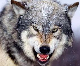 霸氣的狼語錄