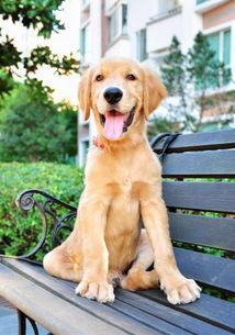 小贴士 金毛幼犬的最佳训练时间 狗狗训练 太平洋时尚网