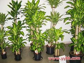 巴西木图片(巴西木开花是什么兆头)