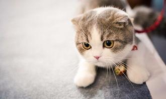 价格千元以下的猫咪