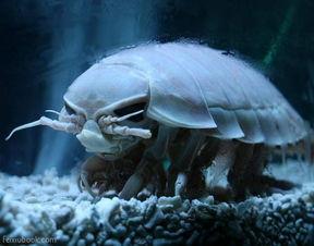 长相很像外星生物,能在水中游泳,专吃海底鱼尸.-全球长相怪异奇...