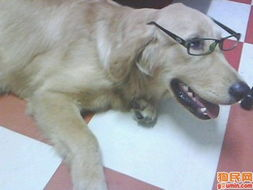 金毛照片 金毛寻回犬照片 金毛照片 未命名6 新相册 liyuhan 狗与爱的世界