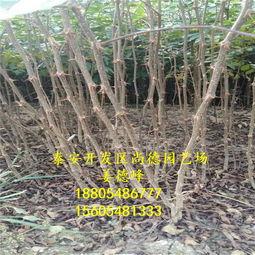 山东香椿树苗栽培 香椿苗基地