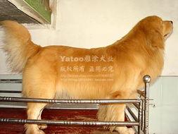 帮忙给我家的金毛猎犬取个好听的名字吧 是公的哦