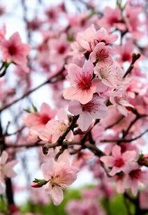 每日文摘 三生三世十里桃花,美醉了