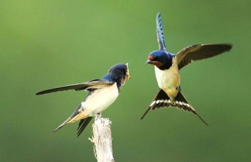 布谷和燕子的有关知识