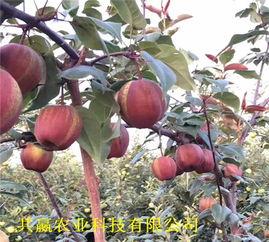 浙江宁波玉露香梨树才卖多少钱一棵 果树 种植基地