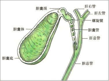 肝脏的位置图片(人体肝脏分布图?)